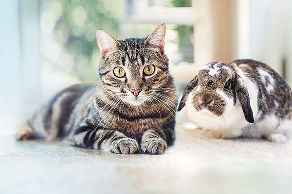 Bayer Advantage pour chat pipettes