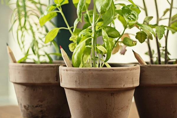 Crayons à planter Sprout